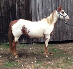 Jument paint horse enr