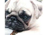 Pug for sale honest reason for sale 9 month old