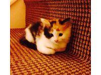 Kitten for Sale, Persian Cross mother Bethnal Green