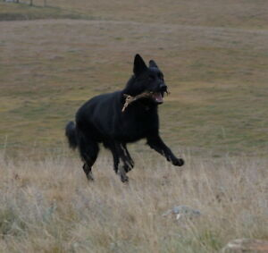 Solid black purebred CKC Registered German Shepherd male