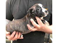 Staffie pups - blue staff