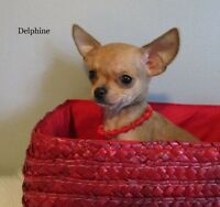 Magnifiques Chiots Chihuahua pure race, enr. CCC prêts a partir!