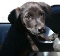 Black Labrador retreiver puppies - Last One