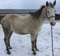 16hh grey quarter horse for sale