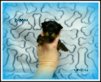 CKC (Trad) & Rare Chocolate Yorkshire Terrier Puppies!! Yorkies!