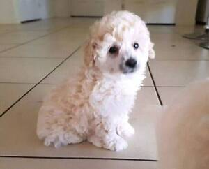 purebred  toy poodle puppy  white male. Southside Gympie Area Preview