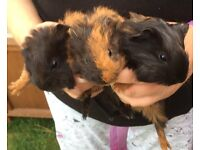 Baby Guinea pig girls for sale