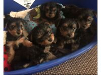 Yorkie pup ( only one left )