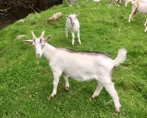 Young Billy Goat.