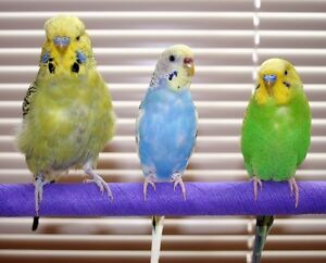 Good home looking for free budgie or any other bird