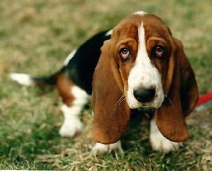 Looking for basset hound or mix