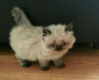 EXTREME FLAT FACE - BEAUTIFUL PERSIAN KITTENS -AWESOME PRICE