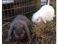 Dwarf Lop Baby Rabbits For Sale