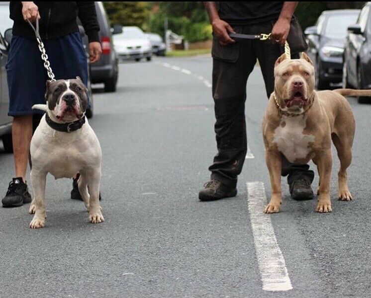 Top Quality Xl American Bully Tri Carrier Pups Gumtree