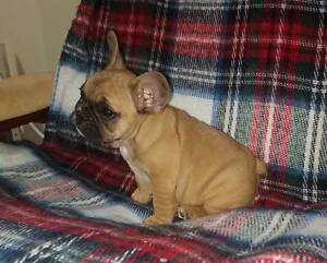 French bulldog male for sale. Needs extra care. Perth Perth City Area Preview