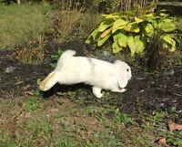 Male Lop bunnies for Sale.