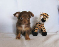 Chihuahua Puppies - CKC Registered!