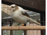Canaries for sale, all born this year, some closed rung, all aviary birds