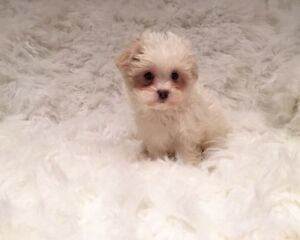 Sweet White + Cream Morkie Puppies Ready!