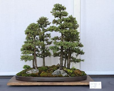 White Spruce, Picea glauca, Tree Seeds (Hardy ...