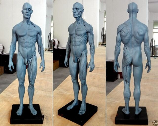 30cm height human man woman anatomy skull sculpture body model, Muscles