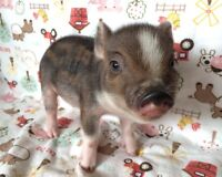 Micro mini piglets for sale