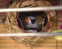 Pair of zebra finch with cage