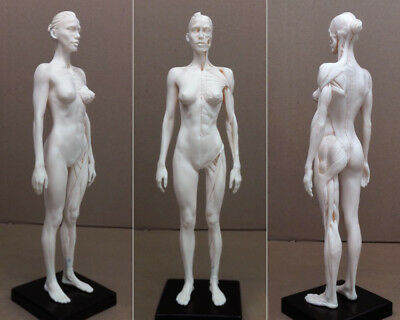 30cm Human Skeleton Anatomical Model Female Anatomy Skul Muscle Bone Women White