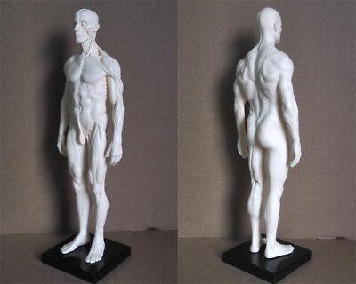 (30cm Human Skeleton Anatomical Model Male Anatomy Skull Muscle Bone White)
