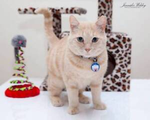 AC0385: Graeme - CAT for ADOPTION - Vet work Included Rockingham Rockingham Area Preview