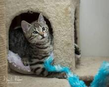 AK1258: Mystique - KITTEN for ADOPTION - Vet work included Tuart Hill Stirling Area Preview