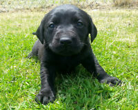CKC registered Black Labrador Retriever Puppies