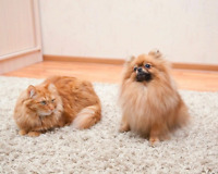 Pet Stain and Odour Removal and Spot Removal specialist