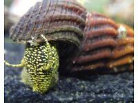 Tropical Rabbit Snails Various Colours