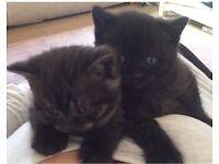 Pedigree Smoke BSH Kittens (British Shorthair)