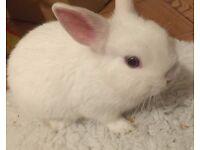 Gorgeous Blue Eyed White Netherland Dwarf Rabbit Baby