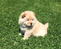 Purebread chow chow puppies