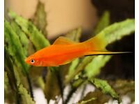 Swordtail juvenile 2 to 4 cm Tropical fish lively healthy
