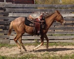 Very quiet filly for sale