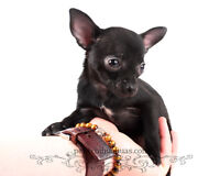 3 Beautiful Female Chihuahua Puppies!