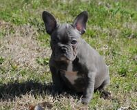 CKC French Bulldog Litters Coming**