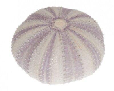 NaDeco® Seeigel Gehäuse lila   Tripneustes gratilla   Seeigelgehäuse   maritime