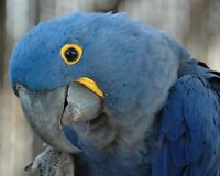 Wanted to purchase hyacinth macaw