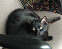 Lost Black Cat - Northwood / Dominion area