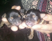 Yorkie Poo Puppies (Only 1 male left)