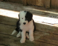 Sheepadoodle Standard poodle/Old English Sheepdog