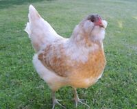 Easter Egger Chickens Wanted!!
