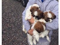 Shih apso puppies for sale