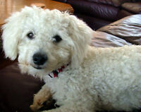 2yr old Male Pure White Bichonpoo