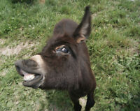 Miniature Donkeys can Make the Best Pets